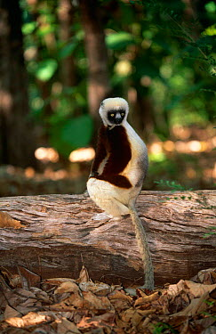Coquerel's sifaka (Propithecus verreauxi coquereli) Western dry forest, Madagascar  -  Pete Oxford/ npl