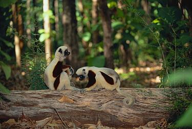 Coquerel's sifakas (Propithecus verreauxi coquereli) Western dry forest, Madagascar  -  Pete Oxford/ npl