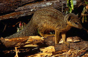 Narrow striped mongoose (Mungotictis decemlineata) Kirindy forest, WMadagascar  -  Nick Garbutt/ npl