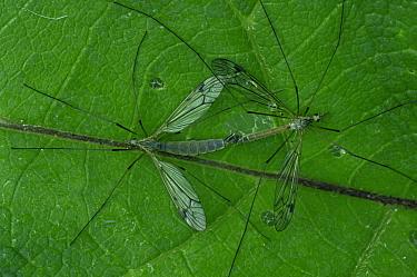 Craneflies (Tipula sp) mating, Germany  -  Elliott Bignell/ npl