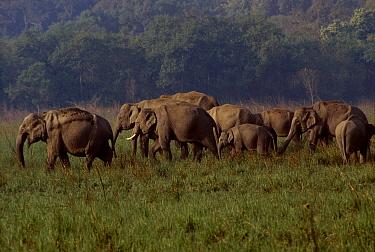 Indian elephant herd old female leading (Elephas maximus) Corbett NP India  -  Ashok Jain/ npl
