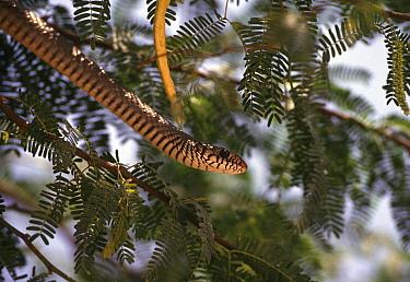 Common Indian Rat Snake, India (Ptyas mucosus)  -  Ashok Jain/ npl