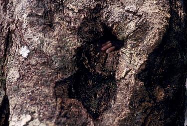 Tree hyrax hand emerging from day nest hole (Drohyrax arboreus) Epulu reserve Congo  -  Jabruson/ npl