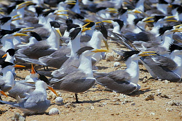 Crested and Lesser crested terns nesting (Thalasseus bergii and bengalensis) Persian Gulf, Iran  -  Mark Yates/ npl