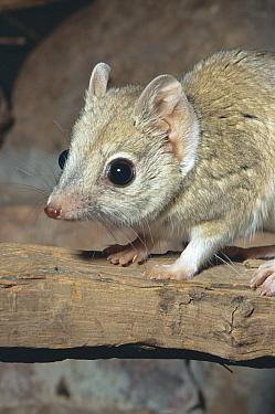 Kowari (Dasyuriodes byrnei) captive, occurs Queensland Australia  -  Rod Williams/ npl