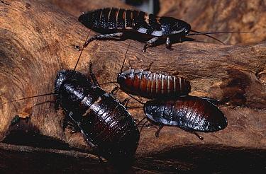 Madagascar hissing cockroaches (Gromphadorhina portentosa) captive  -  Dan Burton/ npl