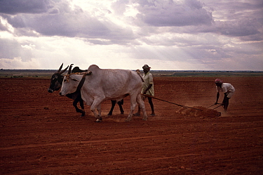 Domestic Water buffalo (Bubalus arnee bubalis) used for ploughing farmland, India  -  John B Free/ npl