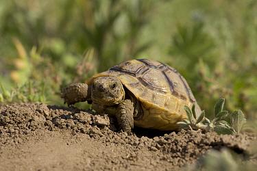 Hermann's tortoise (Testudo hermanni) walking, Bulgaria  -  Dietmar Nill/ npl