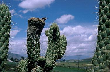 Giant hummingbird (Patagona gigas) chick in nest on prickly pear cactus Ecuador  -  Barrie Britton/ npl