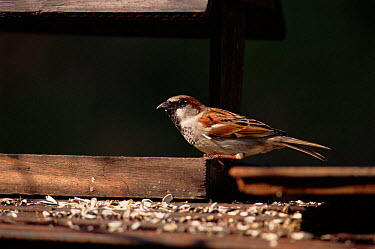 Common sparrow (Passer domesticus) on bird table Camargue, France  -  Jean E. Roche/ npl
