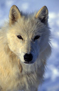 Wild Arctic grey wolf (Canis lupus) face portrait, Ellesmere Island, Canada  -  Jeff Turner/ npl