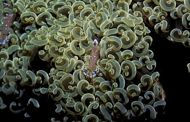 Cleaner shrimp on coral (Periclimenes sp) Philippines  -  Jurgen Freund/ npl