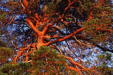 Scots pine canopy at dusk (Pinus sylvestris) Glen Affric Inverness-shire, Scotland  -  Niall Benvie/ npl