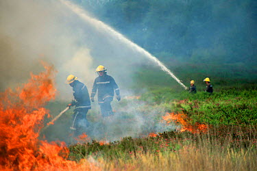Firefighters using water hoses to put out heathland fire, Corfe Mullen, Dorset, UK  -  Graham Hatherley/ npl