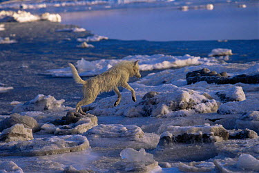 White Arctic race female Grey wolf (Canis lupus) leaping across melting ice floes, Ellesmere Island, Canada Wild  -  Jeff Turner/ npl