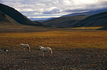 Grey, White arctic race wolf yearlings (Canis lupus) Ellesmere Island, Canada  -  Jeff Turner/ npl