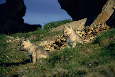 Two wild pups of Arctic white form of Grey wolf (Canis lupus) Ellesmere Island, Canada  -  Jeff Turner/ npl