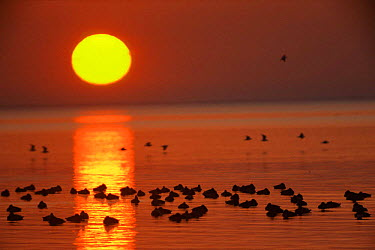 Trail of sunlight reflected on water at sunset with raft of roosting European pochard duck, Camargue, France  -  Jean E. Roche/ npl