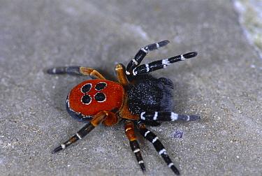 Ladybird spider male (Eresus cinnaberinus) Germany  -  Hans Christoph Kappel/ npl