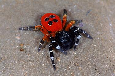 Ladybird spider male, Germany  -  Hans Christoph Kappel/ npl