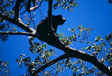 Mantled Howler Monkey in tree (Alouatta palliata) Costa Rica  -  Tim Martin/ npl