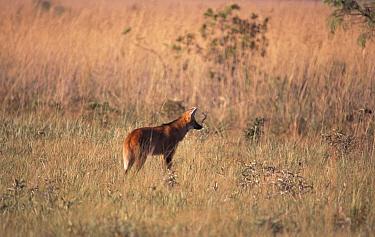 Maned wolf in grasslands (Chrysocyon brachyurus) Emas NP Brazil  -  Mark Yates/ npl