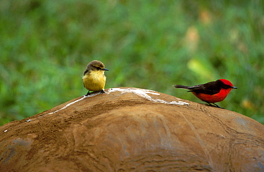 Vermilion flycatcher pair (Procephalus rubinus) on Giant tortoise Galapagos Santa Cruz  -  Mike Read/ npl