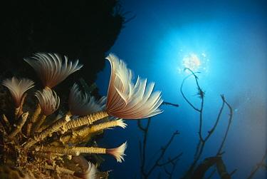 Social feather duster against sunlight (Bispira brunnea) Caribbean  -  Jurgen Freund/ npl