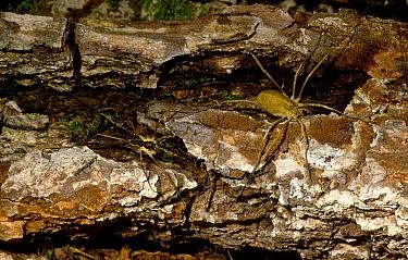Pair of harvestmen on bark (Mitopus mario) Daddy long legs, Scotland, UK  -  Duncan McEwan/ npl