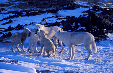 Grey wolf family on Ellesmere (Canis lupus) pups begging for food White Arctic race, wild,  -  Jeff Turner/ npl