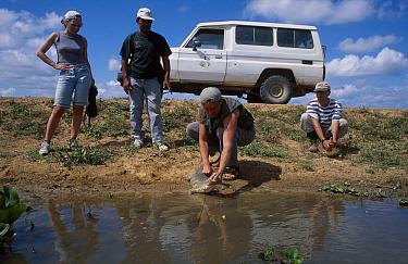 Scientists release juvenile Orinoco crocodile Venezuela (Crocodylus intermedius) 1, 3  -  Francois Savigny/ npl