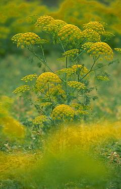 Alexander herb in flower (Smyrnium olusatrum) Spain  -  Jose B. Ruiz/ npl