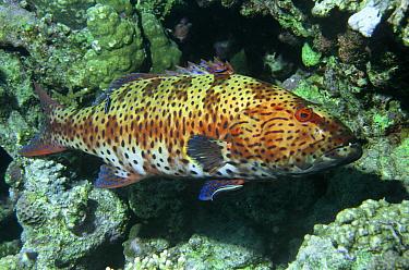 Roving coral grouper (Plectropomus pessuliferus) Red Sea, Eygpt  -  Dan Burton/ npl