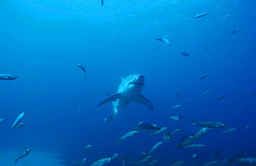 Great white shark swimming through shoal of fish (Carcharodon carcharias) South Australia  -  Brent Hedges/ npl