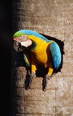 Blue and yellow macaw at nest entrance, Aguaje palm swamp, Tambopata-Candamo, Peru  -  Jim Clare/ npl