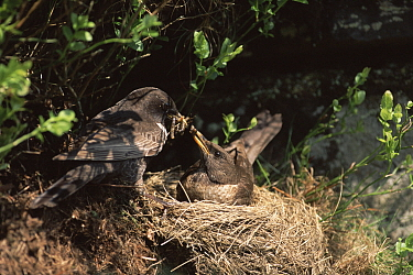 Ring ouzel male feeds female at nest (Turdus torquata) Peak district NP, UK  -  Steve Knell/ npl