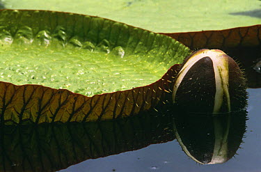 Royal water lily flower bud and leaf (Victoria amazonica) Guyana, South America  -  Pete Oxford/ npl