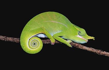 Chameleon portrait (Furcifer petteri) Ankarana Reserve Madagascar  -  Nick Garbutt/ npl