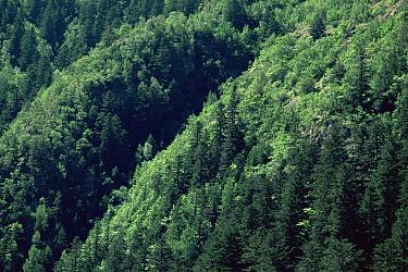 Mixed woodland in the Aigues Tortes, St Mauricio NP, Pyrenees, Spain  -  Jose B. Ruiz/ npl