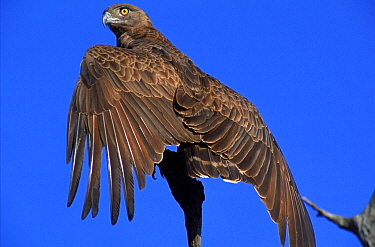 Brown snake eagle with wings spread, Kruger NP, South Africa  -  Francois Savigny/ npl