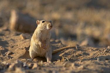 Indian desert gerbil (Meriones hurrianae) Thar Desert, Rajasthan, India  -  Bernard Castelein/ npl