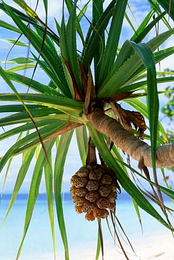 Palm fruit on tree (Pandanus sp) Sabah Malaysia Indonesia  -  Georgette Douwma/ npl
