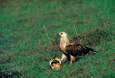 Whistling kite, hawk (Heliastur sphenurus) Papua New Guinea  -  Michael Pitts/ npl