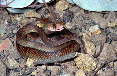 Juvenile female King brown snake (Pseudechis australis) Northern Territory, Australia  -  Robert Valentic/ npl