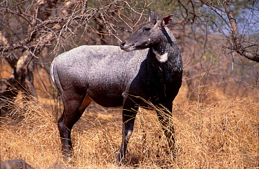 Nilgai (Boselaphus tragocamelus) Gir forest Gujarat India  -  Toby Sinclair/ npl
