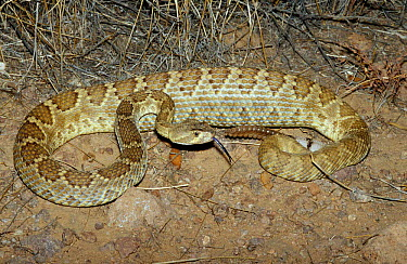 Mojave rattlesnake (Crotalus scutulatus) C Arizona USA  -  Barry Mansell/ npl