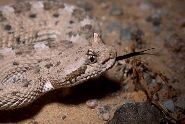 Sidewinder rattlesnake (Crotalus cerastes) C Arizona USA  -  Barry Mansell/ npl