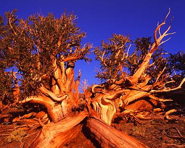 Bristle cone pine, ancient tree, White Mountains, California (Pinus aristata  -  David Welling/ npl
