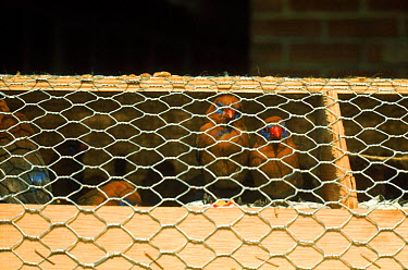 Smuggled birds being held at RSPCA hostel after confiscation at Heathrow, England, UK 1979  -  Richard Porter/ npl