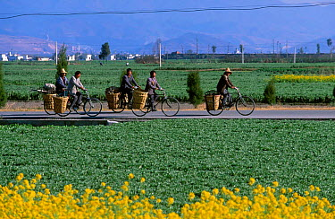 Bai men bicycling along road to work Erhai lake, Dali, Yunnan, China  -  Pete Oxford/ npl